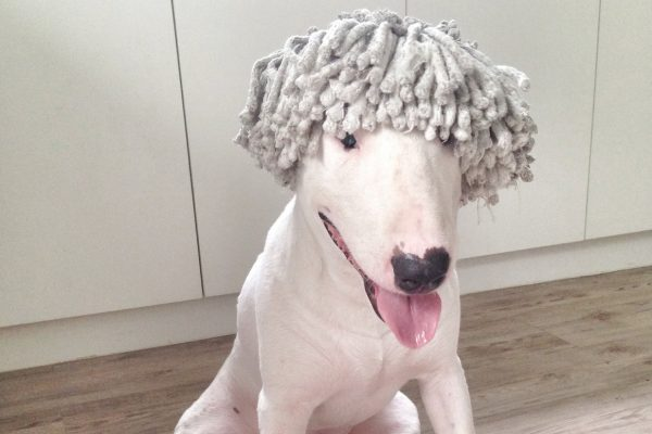 Mop wig on the bull terrier head dog